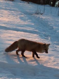 fox-in-snoq